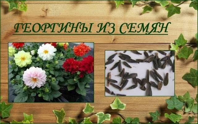Однолетние георгины фото с названиями