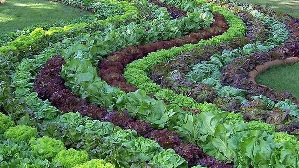 Смешанные посадки овощей на грядке видео
