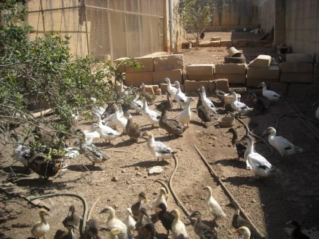 Утки разведение в домашних условиях для новичков