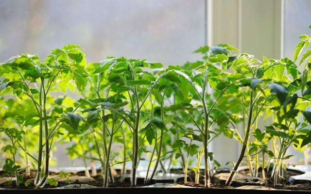 Чем подкормить рассаду помидор: удобрения и сроки 35