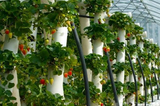 Вьющаяся клубника уход и выращивание, отзывы