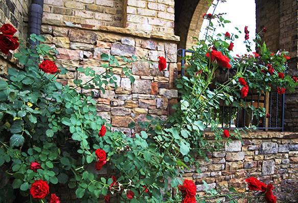 Плетистая роза дон жуан посадка и уход в открытом грунте