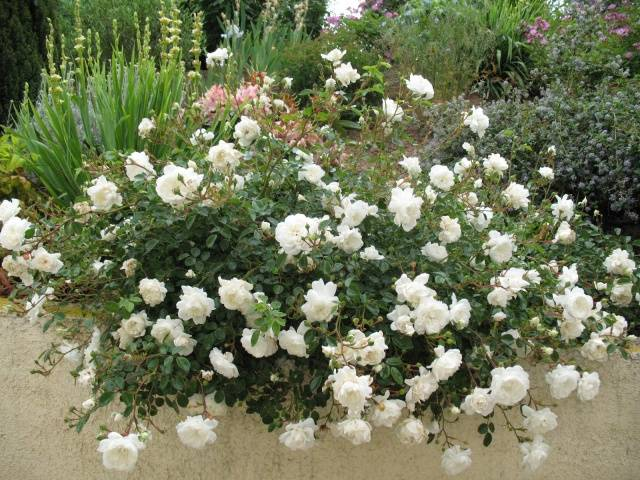 Роза почвопокровная сорта