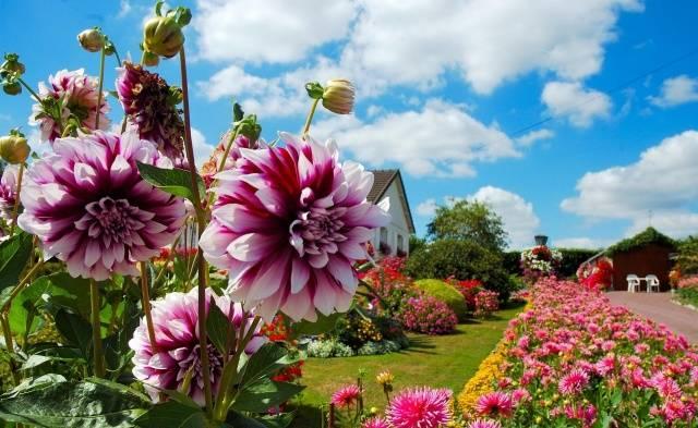 Георгины крупноцветковые сорта фото