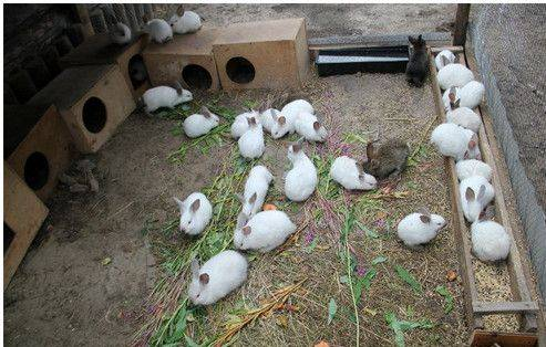 фото кролики калифорнийские