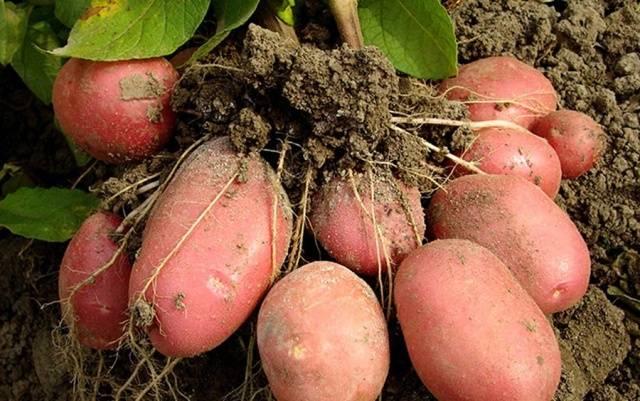 Когда сажать картошку в 2018 году в Подмосковье