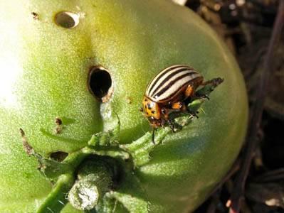 Вредители рассады помидор и борьба с ними фото