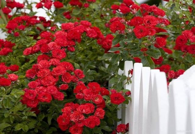 Дон жуан роза плетистая фото