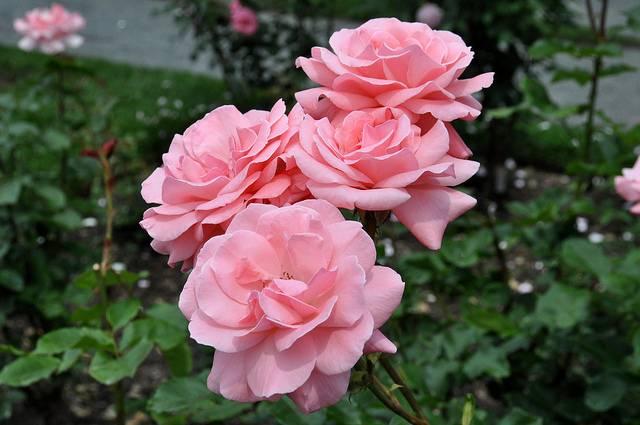 Роза сорта секси рекси