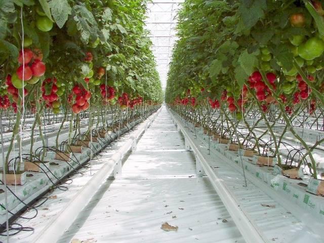 Грунт для выращивания помидоров в теплице 99
