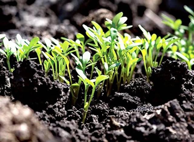 Выращивание эшшольции из семян когда сажать