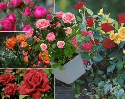 Розы кустовые уход и выращивание 45