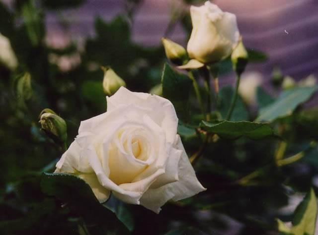 фото почвопокровная роза белая