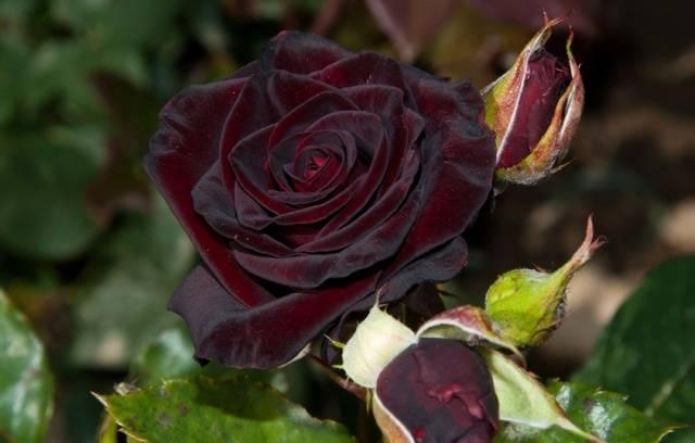 Черная королева роза плетистая