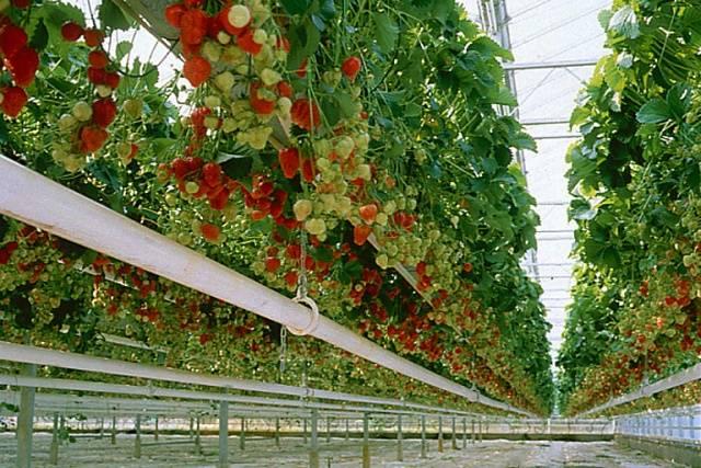 Современные методы выращивания земляники 7