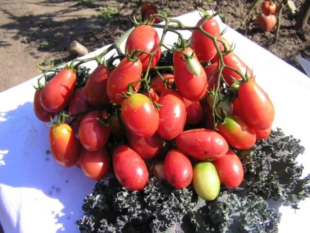 Лучшие салатные сорта томатов: посадка и уход