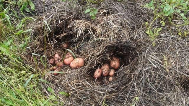 Выращивание картофеля под сеном и соломой 495