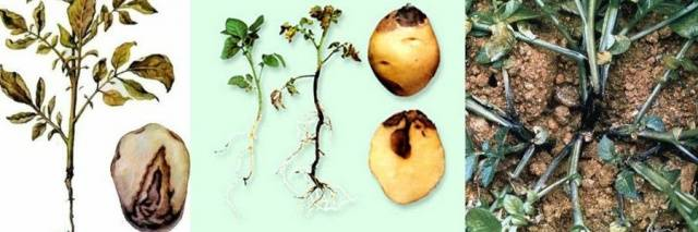 Болезни клубней картофеля фото, описание и лечение