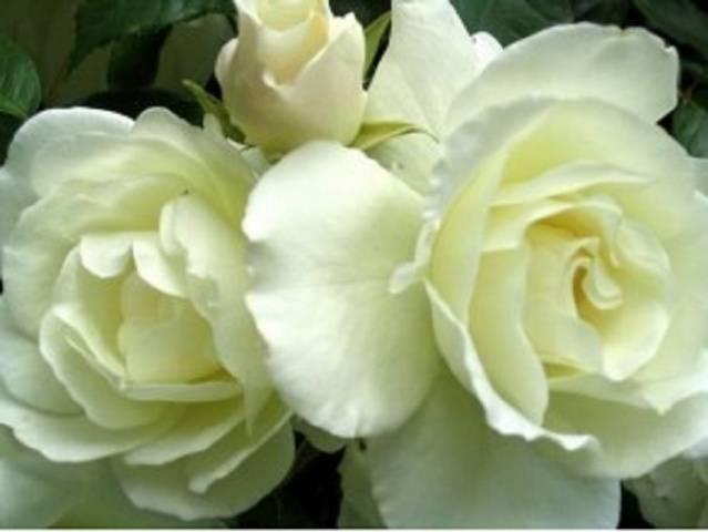 Айсберг клаймбинг роза