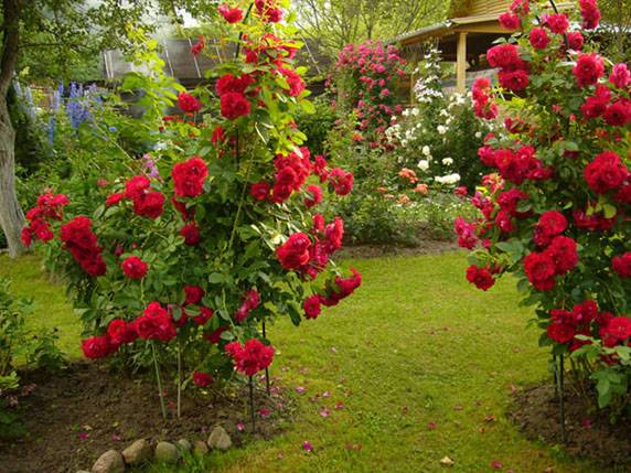 С какими цветами лучше сажать розы