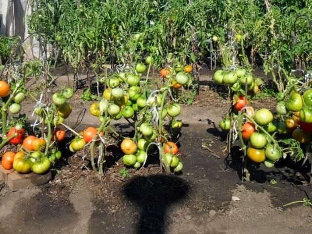 Выращивание помидоров в открытом грунте в Подмосковье
