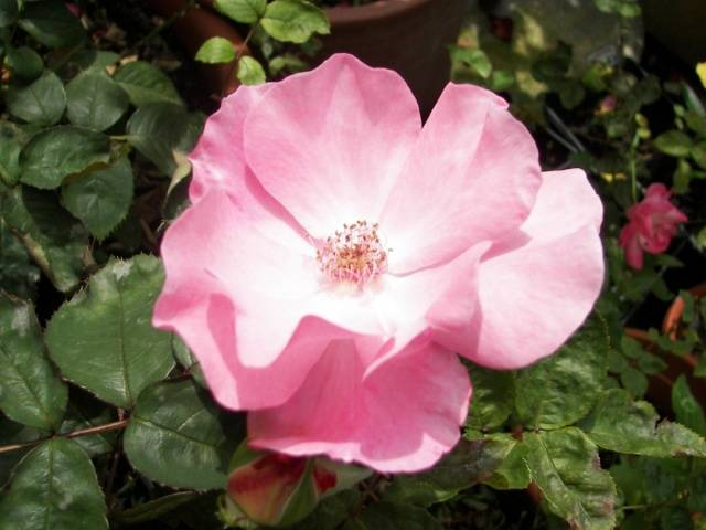 Роза многоцветковая вечноцветущая мини садовый аромат выращивание