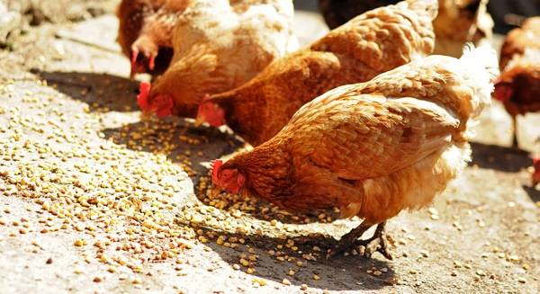 Курицы несушки содержание в домашних условиях кормление
