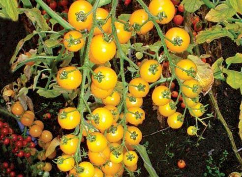 Томат черри Кира: характеристика и описание сорта, урожайность с фото