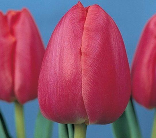 Когда сажать тюльпаны в теплице