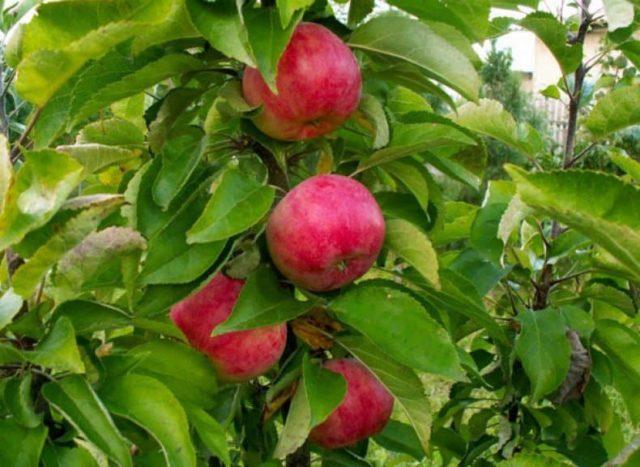 Яблоня колонновидная васюган описание сорта фото отзывы
